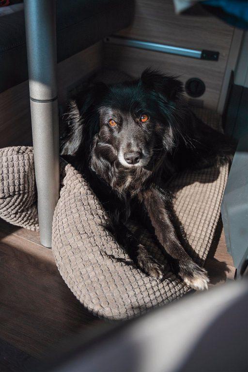 Fazer-koira matkustaa retkeilyautossa pöydän alla turvavöissä.