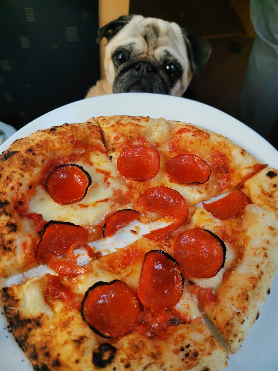Perheen koira haaveilee pizzapalasta.
